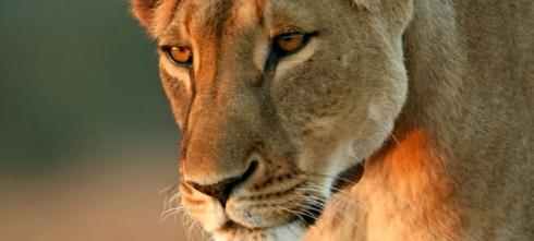 A lion in Kenya's Ol Pejeta Conservancy. © Stefan Ekernas