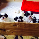 Boogie's puppies